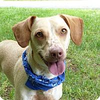 Adopt A Pet :: Odin - Mocksville, NC