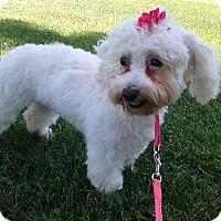 Adopt A Pet :: Petunia - Las Vegas, NV