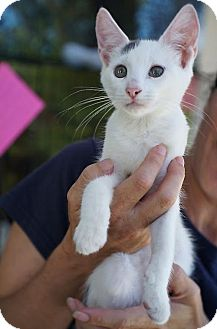 Domestic Shorthair Kitten for adoption in san diego, California - Summer