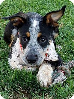 Australian Cattle Dog/Australian Shepherd Mix Puppy for adoption in Creston, Ohio - Froakey ~ ADOPTED!