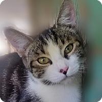 Adopt A Pet :: CHLOE 12 wks - Ocala, FL