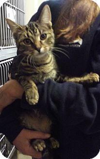 Domestic Shorthair Cat for adoption in Cheboygan, Michigan - 20750