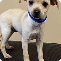 Adopt A Pet :: Rachel - Oswego, IL