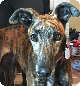 Greyhound Dog for adoption in Spencerville, Maryland - Rap