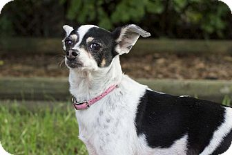 Chihuahua Mix Dog for adoption in Livonia, Michigan - Lilly