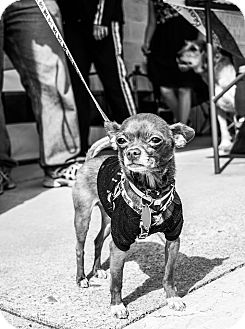 Chihuahua Dog for adoption in Red Lion, Pennsylvania - ROCCO
