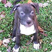 Adopt A Pet :: Bentley - Cincinnati, OH