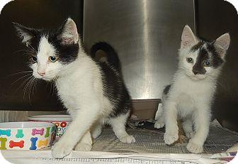 Domestic Shorthair Kitten for adoption in Newport, North Carolina - River & Gwen