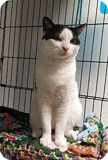 Domestic Shorthair Cat for adoption in Templeton, Massachusetts - Max