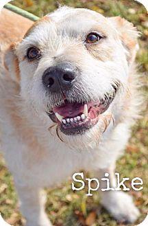 Terrier (Unknown Type, Medium) Mix Dog for adoption in DFW, Texas - Spike