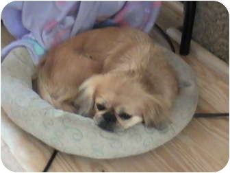 Pekingese Dog for adoption in Richmond, Virginia - Gracie Mcgee