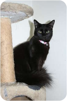 Domestic Longhair Cat for adoption in Santa Rosa, California - Saffron
