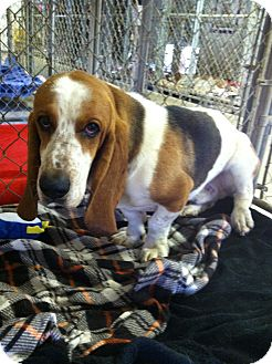 Basset Hound Mix Dog for adoption in Acton, California - Noodle