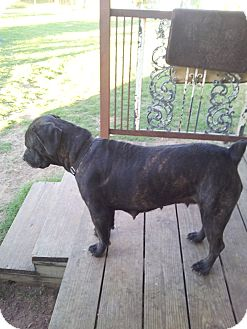 Cane Corso Dog for adoption in Jennings, Oklahoma - Roxy