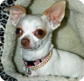 Chihuahua Mix Dog for adoption in Cheyenne, Wyoming - Minnie