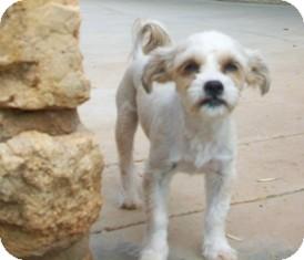 tips adopted dog tustin ca havanese poodle