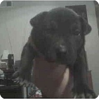 Adopt A Pet :: Samya - 5wks old - ask 4 pic - Greenville, SC