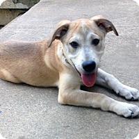 Adopt A Pet :: BELVEDERE - Nashville, TN