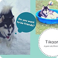Adopt A Pet :: ** Courtesy Listing Tikaani ** - Jefferson, NH