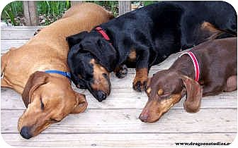 Dachshund Dog for adoption in Spokane, Washington - Rescued Dachshunds since 1991!