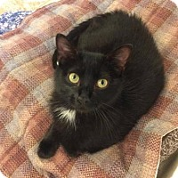 Domestic Shorthair Cat for adoption in O'Fallon, Missouri - Robbie