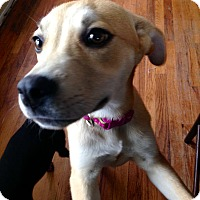 Adopt A Pet :: Lacie in CT - Manchester, CT