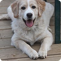 Golden Retriever/Anatolian Shepherd Mix Dog for adoption in Bedford Hills, New York - Milo