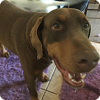 Doberman Pinscher Mix Dog for adoption in Newcastle, Oklahoma - Dobie