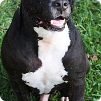 American Staffordshire Terrier Dog for adoption in Hankamer, Texas - Orion