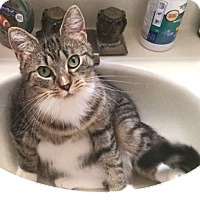 Domestic Shorthair Cat for adoption in Walworth, New York - Leah