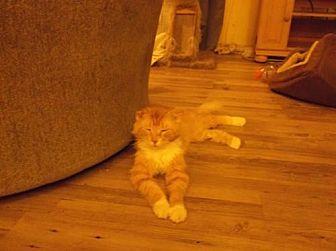 Domestic Mediumhair Cat for adoption in el mirage, Arizona - Lynus
