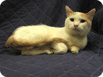 Domestic Shorthair Cat for adoption in Redwood Falls, Minnesota - Crisko