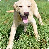 Adopt A Pet :: Denham - New Canaan, CT