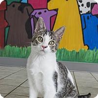 Adopt A Pet :: Cobbs - Seattle, WA