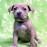 Adopt A Pet :: JAYCEE - Westminster, CO