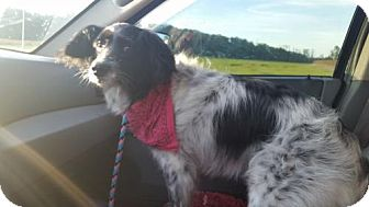 Border Collie/Spaniel (Unknown Type) Mix Dog for adoption in Columbus, Indiana - Amidala