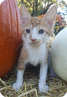 Domestic Shorthair Kitten for adoption in Oakland, Michigan - Ollie - I'm FUN!