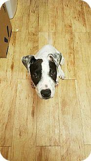 Cattle Dog Mix Puppy for adoption in Mesa, Arizona - ZUKO - 12 WEEK CATTLE DOG MIX