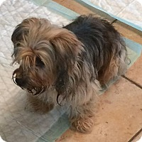 Yorkie, Yorkshire Terrier Dog for adoption in Homer Glen, Illinois - Yorki
