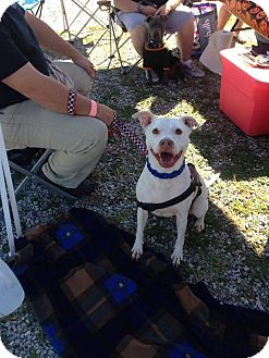American Pit Bull Terrier Mix Dog for adoption in Baltimore, Maryland - Creme Puff