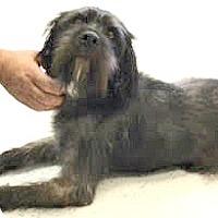 Adopt A Pet :: Bosley-ADOPTION PENDING - Boulder, CO