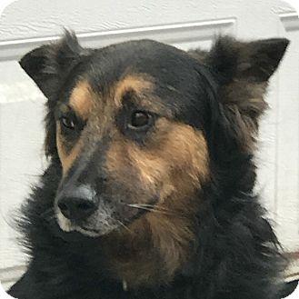Sheltie, Shetland Sheepdog/Retriever (Unknown Type) Mix Dog for adoption in Eastsound, Washington - MOZART