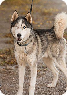 Siberian Husky Dog for adoption in Cedar Crest, New Mexico - Loki