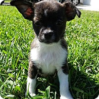 Adopt A Pet :: Prince Aladdin - Royal Palm Beach, FL