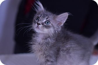 Domestic Mediumhair Kitten for adoption in Virginia Beach, Virginia - Cabot