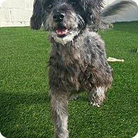 Adopt A Pet :: Winston Schnoodle - House Springs, MO