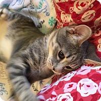 Domestic Shorthair Kitten for adoption in Butner, North Carolina - Julep