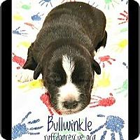 Adopt A Pet :: Bullwinkle - Milton, GA
