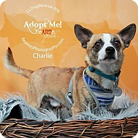 Adopt A Pet :: Charlie Brownie - Shawnee Mission, KS
