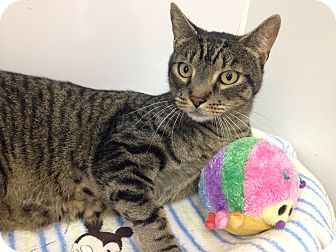 Domestic Shorthair Cat for adoption in Newport Beach, California - Mikey